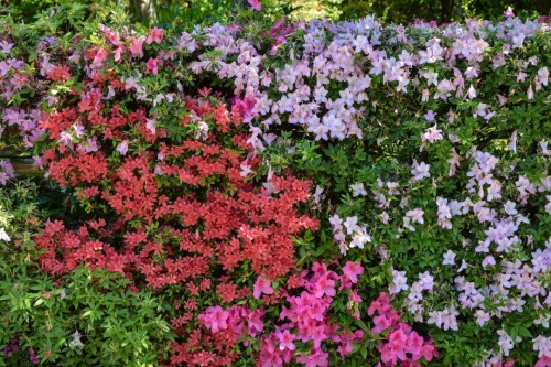 Flowers at Mr. Kishi's Residence in Murakami