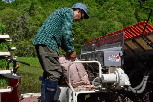 Adding Organic Fertilizer to the Rice Shoots