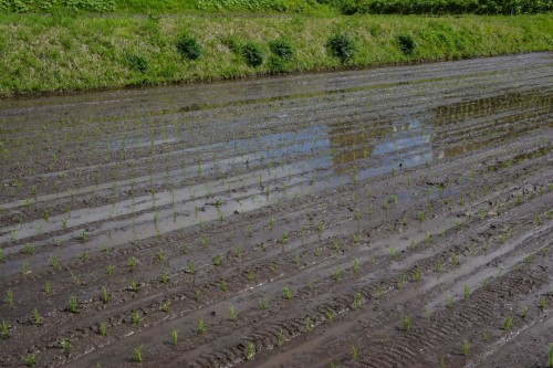 Rice Planting in the Fields