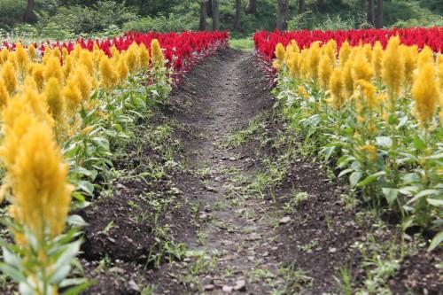 Kuju flower park in Rita prefecture, Kyushu, Japan.