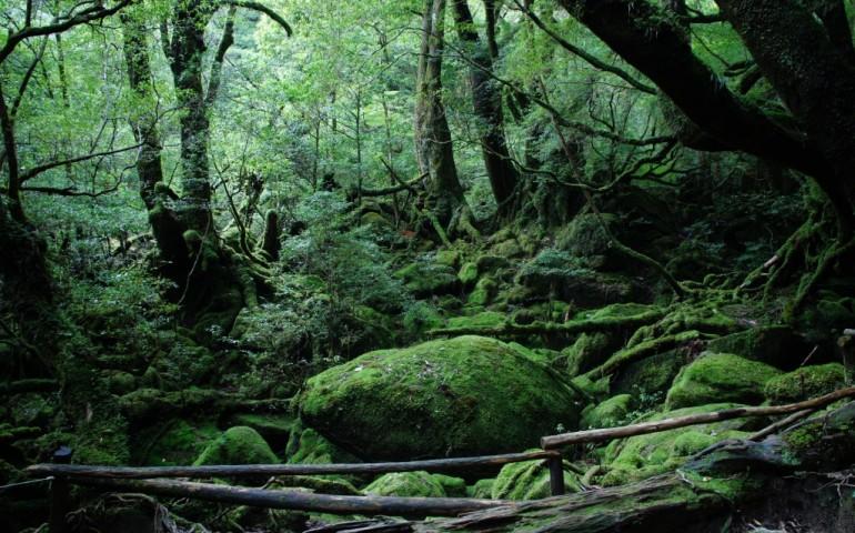 Yakushima's green forest, Kagoshima, Kyushu, Japan.