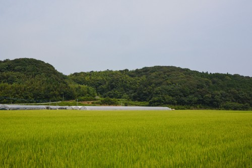 The Driving Path between Two Rice Fields, Saga prefecture, Kyushu.