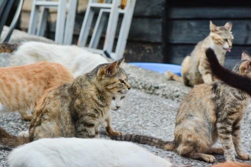 Cat's Enjoying Their Morning Meal at Cat island Fukashima, Oita prefecture, Kyushu.