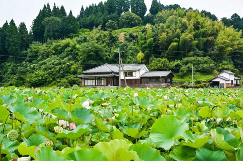 Lotus garden at usuki city, Oita prefecture, Japan.