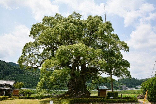 Sacred Camphor in Kawago  is designated as a natural monument of Japan.