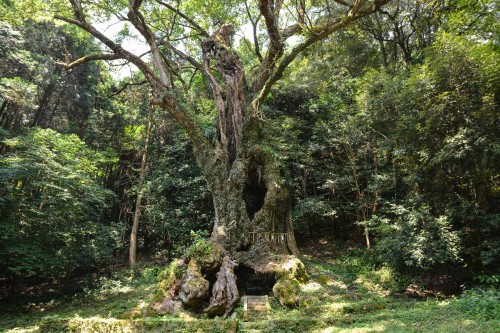 The holy Camphor Tree, Ohkusu at Takeo onsen, Saga prefecture, Kyushu.