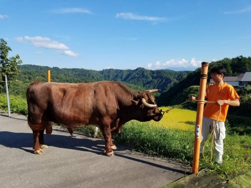 Yamakoshi village in Niigata prefecture is famous for the bull fighting , Japan.