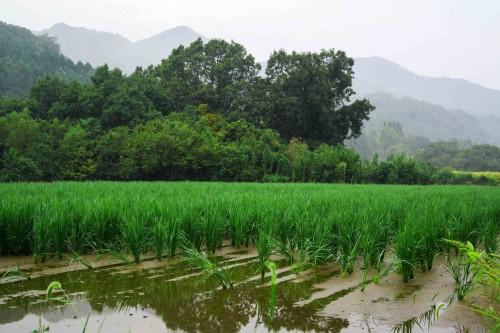 The rice fields in Ajimu district, Oita prefecture ,Kyushu, Japan.