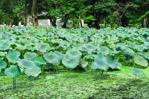 The lotus pond in Usa Jingu Shrine, Oita prefecture, Kyushu, Japan.