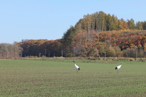 I Was Lucky Enough to Spot Japanese Cranes!