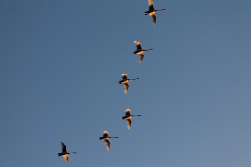 Bean Geese Flying Overhead