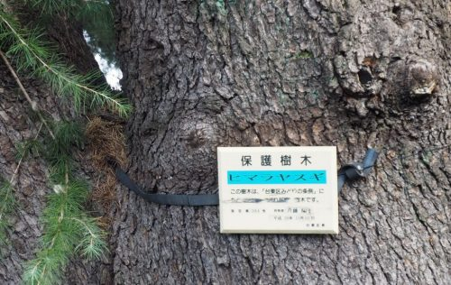 Yanaka Cedar Tree at Yanesen area  in Tokyo, Japan.