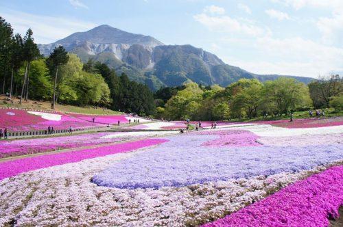 Shibazakura in Full Bloom at Hitsujiyama Park, Chichibu, Japan.