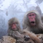Meeting with Japanese Macaques at Snow Monkey Park in Shiga Kogen National Park