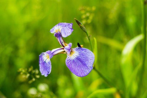 Koshimizu-cho Koshimizu Genseikaen Flower Garden Nature Northern Hokkaido Prefecture Iris