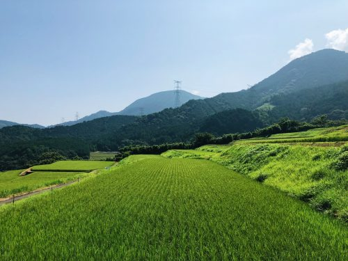 greeny rice fields in Toon city, Ehime Prefecture, Japan.