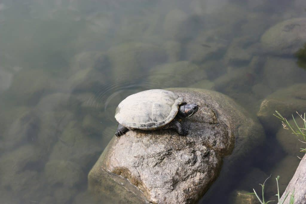 JApanese turtle in pond