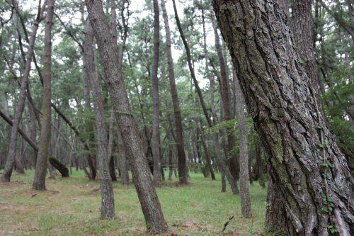 Karatsu and its 300 years old pine trees, in Karatsu, Saga, Kyushu, Japan.