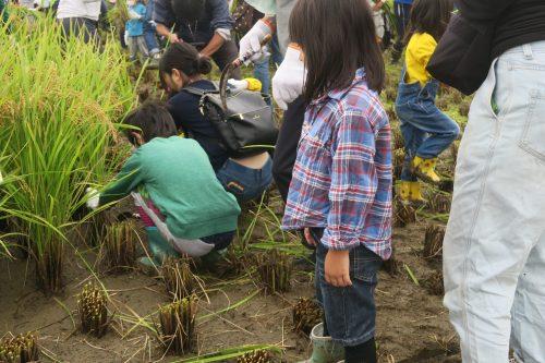Rice Field Art Worthy of a Guiness World Record in Gyoda, Saitama