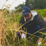 Green Tourism, Rice Harvesting in Murakami