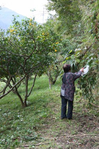 Harvesting yuzu in Mima, Tokushima Prefecture.