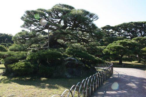 Famous pine trees in Ritsurin Garden in Takamatsu, Kagawa Prefecture in Eastern Shikoku.