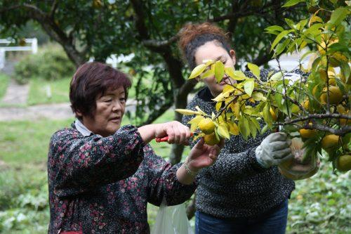 Picking yuzu fruit at Yuzu No Sato minshuku in Mima town, Tokushima, Shikoku.