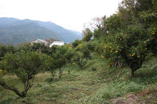 Yuzu orchards behind Yuzu No Sato minshuku in Mima town, Tokushima, Shikoku.