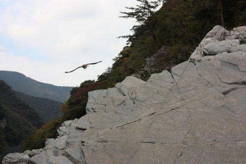 A kite (bird of prey) flies over Oboke Gorge, Tokushima.