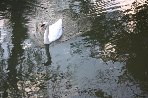 A swan in the river of the Bikan historic distict of Kurashiki, Okayama.
