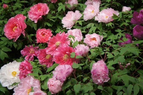 Peonies in Yuushien Japanese Garden, not far from Adachi Museum of Art, Yasugi, Shimane Prefecture, San'in Region, Japan
