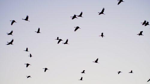 Graceful cranes take flight in Izumi, Kagoshima.