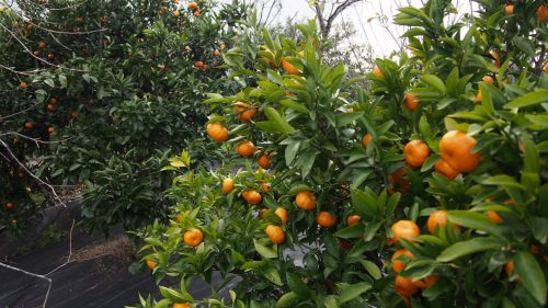 One of the many citrus tree farms in Izumi city, Kyushu.