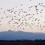 The Beauty of Thousands of Cranes in Izumi, Kagoshima