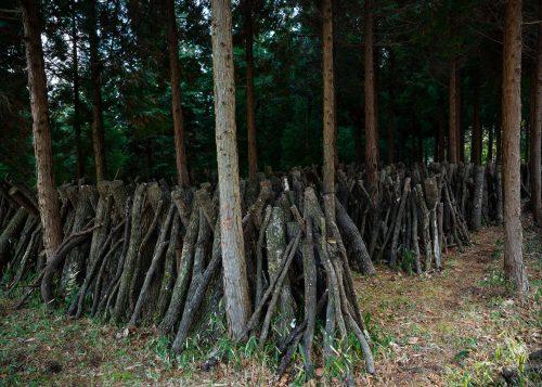 Shiitake mushroom growing in Oita Prefecture, Kyushu.