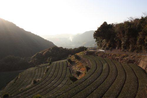 Green tea tourism in Higashisonogi, Nagasaki