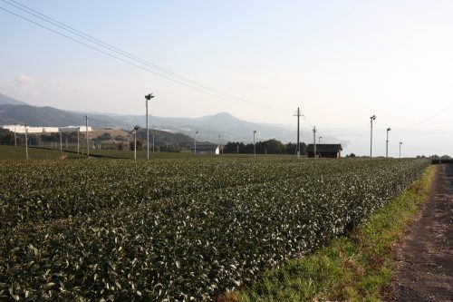 Green tea tourism in Higashisonogi, Nagasaki