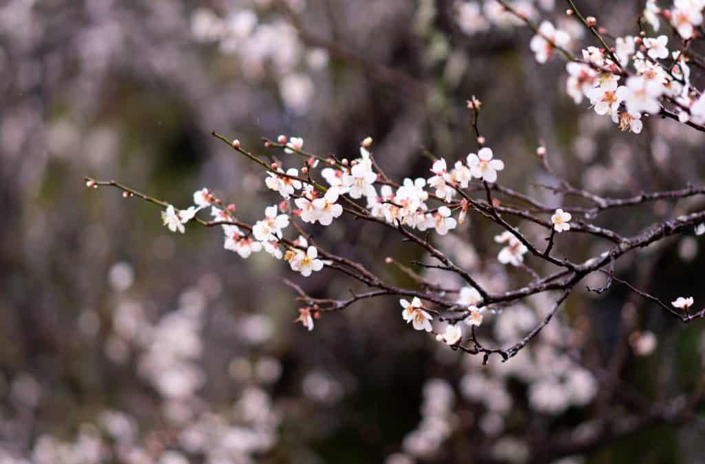 Japanese sakura cherry blossoms in springtime japan