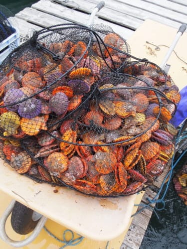 Hiyougi scallops in the net