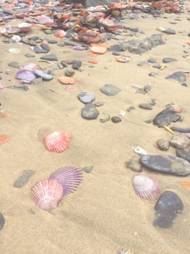 Hiyougi shells on sandbeach in Yakatajima