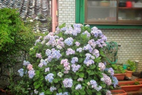 Ajisai (hydrangea) in bloom on Ojika