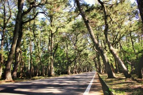 Picturesque pine trees on Ojika Island