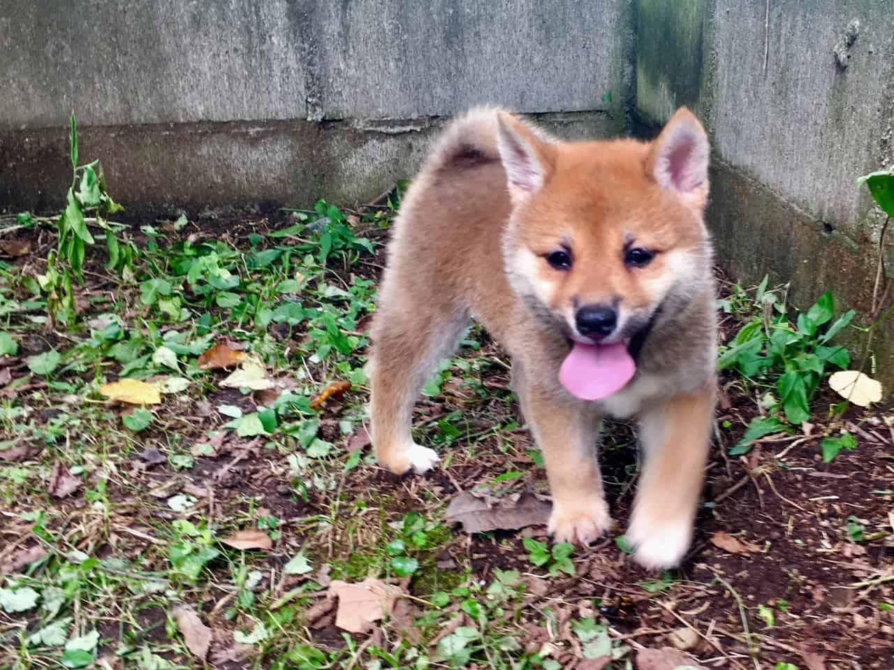 Shiba Inu: Japan's Cutest National Treasure