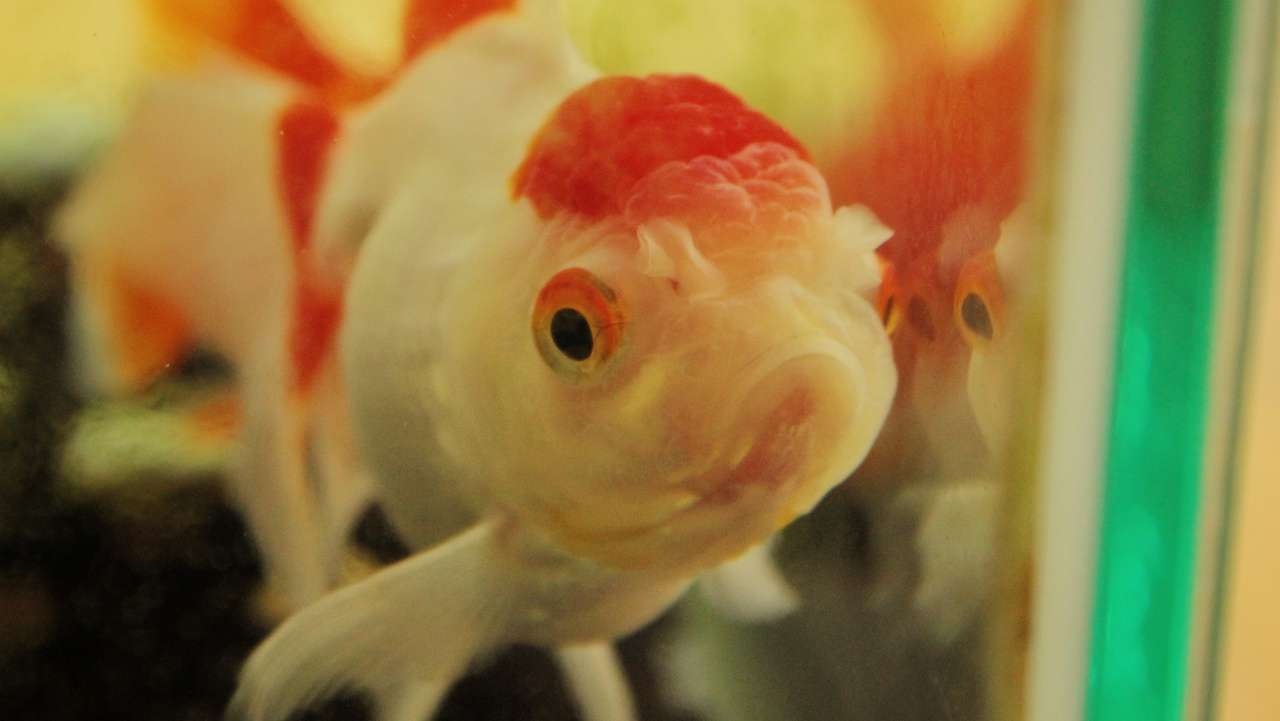 Enter Nagasu Town's World of Goldfish!