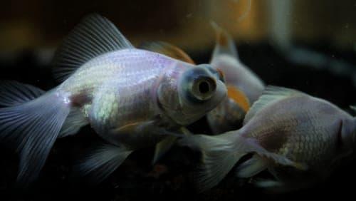 Three goldfish
