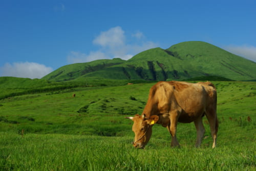 Jersey cow in Kumamoto prefecture