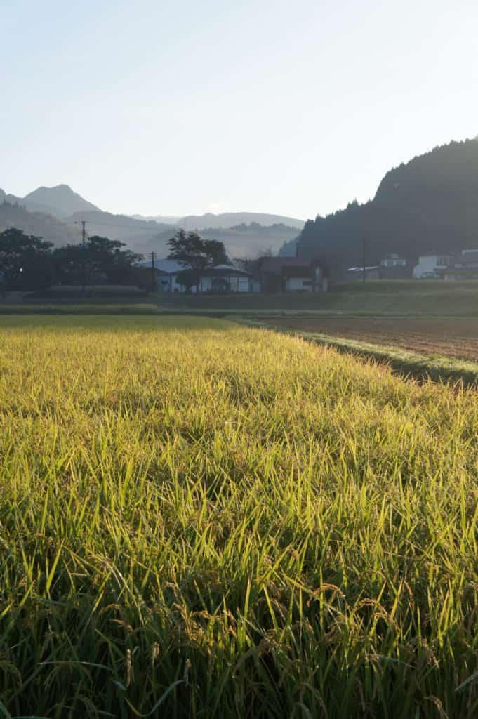 Rice field ready for the harvest in Kikuchi