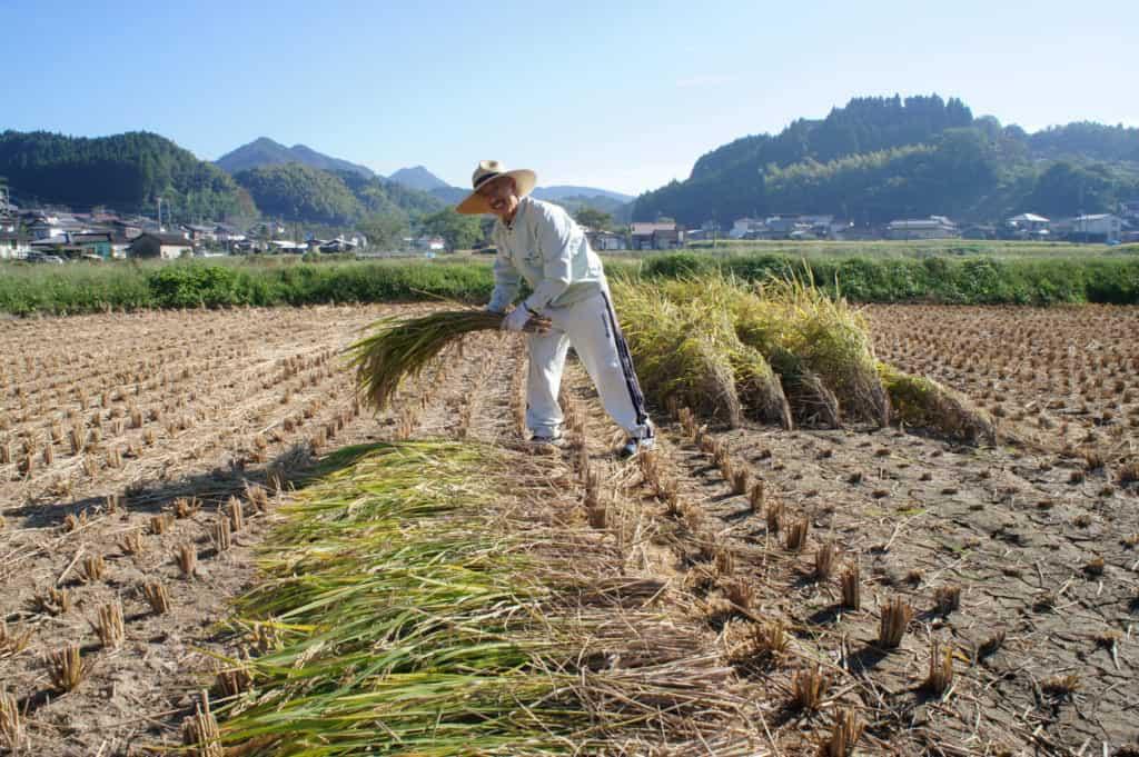 Mr Yonemura harvesting his rice field in Kikuchi