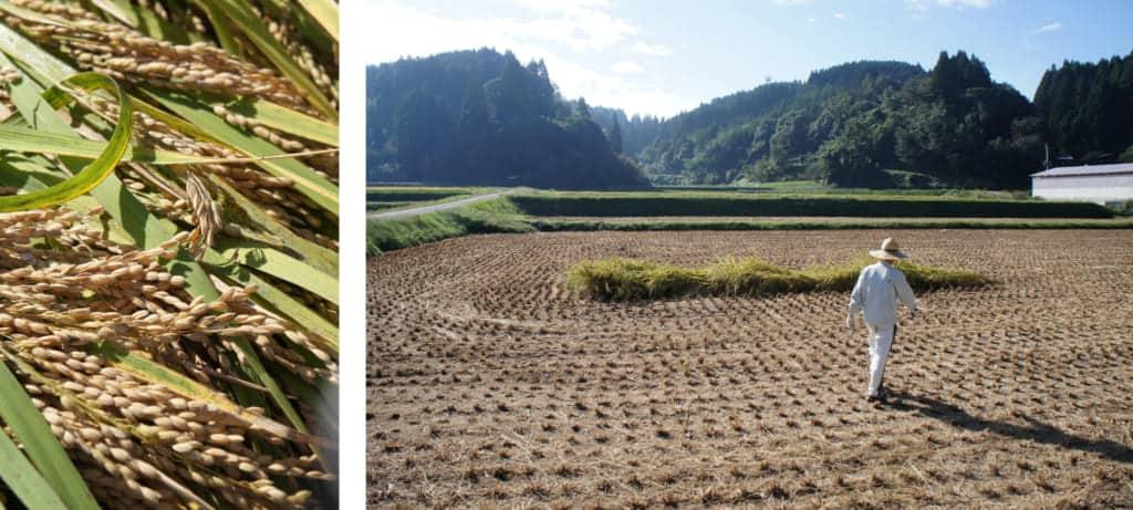 Freshly cut rice (left) Mr Yonemura in his rice field (right)