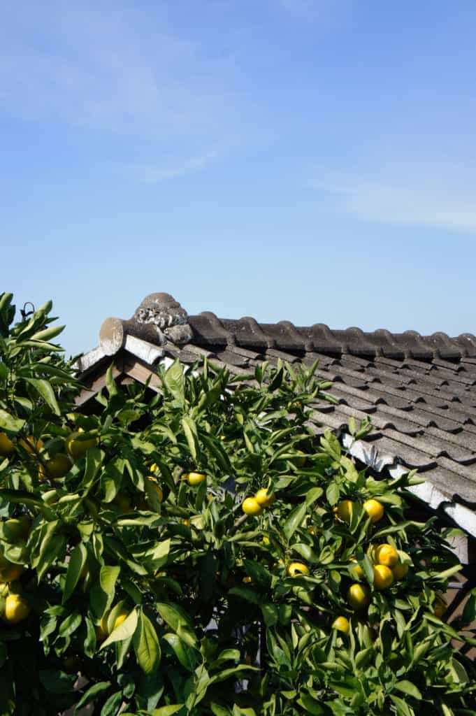 Citrus tree in front of a traditional Japanese roof